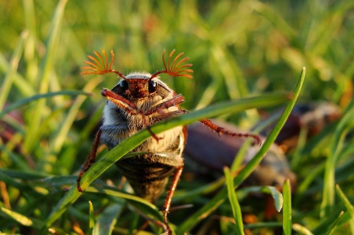 Как избавиться от майского жука и личинок: ловушки и неожиданный помощник