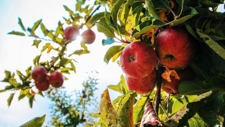 Яблоневые сады под Липецком вошли в топ самых красивых фруктовых садов России